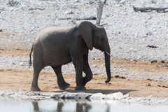 Слон на Waterhole стоковые изображения