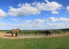 Слон на Waterhole Стоковые Изображения RF