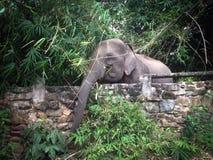 Слон около стены Стоковое Изображение