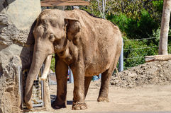 Слон оставаясь холодный на зоопарке Стоковое фото RF