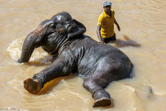 Слон от детского дома слона Pinnawela (Pinnawala) купает в реке Maha Oya в Шри-Ланке Стоковые Фото