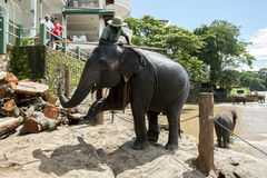 Слон от детского дома слона Pinnawela (Pinnawala) начинает его прогулка от реки Maha Oya к детскому дому Стоковые Изображения RF