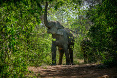 слон одичалый Стоковое Изображение RF