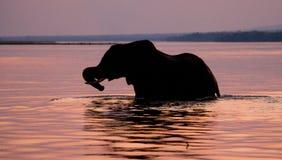 Слон пересекая Реку Замбези на заход солнца в пинке Замбия стоковая фотография rf