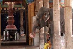 Слон перед виском стоковые изображения