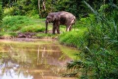 Слон пигмея и свое отражение в реке стоковые фотографии rf