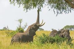 Слон получая еду от дерева акации стоковая фотография rf