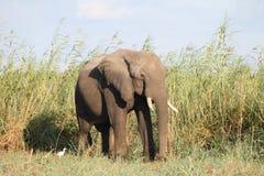 Слон Рекы Замбези Стоковая Фотография