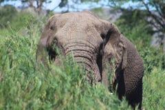 Слон спрятанный в длинной траве Стоковая Фотография RF