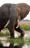 Слон стоя на траве около реки Замбези Замбия Понизьте национальный парк Замбези Река Замбези стоковые фотографии rf