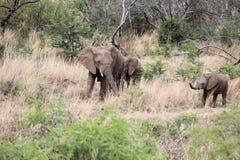 Слон с 2 икрами Стоковые Изображения RF