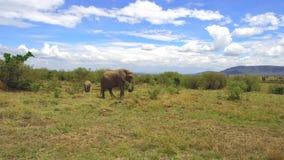 Слон с младенцем или икра в саванне на Африке видеоматериал