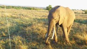 Слон с младенцем или икра в саванне на Африке сток-видео