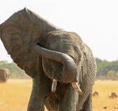 Слон с flapping уха и хобот обернутый вокруг его стороны стоковое фото