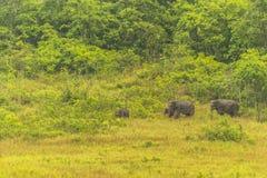 Слон Таиланда ест много дела совместно в сезоне дождей Стоковое Изображение
