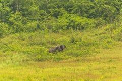 Слон Таиланда ест много дела совместно в сезоне дождей Стоковое Изображение RF