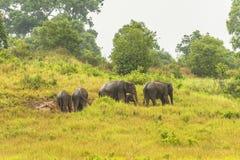 Слон Таиланда ест много дела совместно в сезоне дождей Стоковые Изображения RF