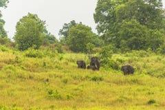 Слон Таиланда ест много дела совместно в сезоне дождей Стоковая Фотография