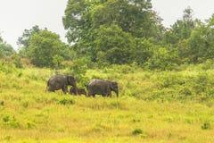 Слон Таиланда ест много дела совместно в сезоне дождей Стоковые Фотографии RF