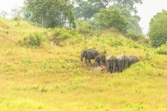 Слон Таиланда ест много дела совместно в сезоне дождей Стоковое Фото