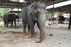 слон тайский Стоковая Фотография