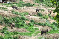 слон тайский Стоковые Изображения RF