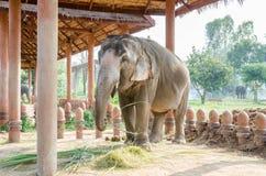 слон тайский Стоковая Фотография RF