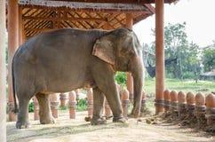 слон тайский Стоковое Изображение