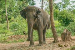 слон тайский стоковое фото rf