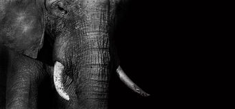Слон (творческий редактируйте) Стоковые Изображения RF