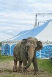 Слон цирка Стоковое Фото