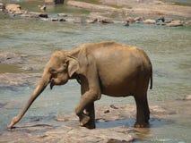 Слон Шри-Ланка Стоковое Изображение RF