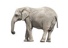 Слон Стоковая Фотография RF