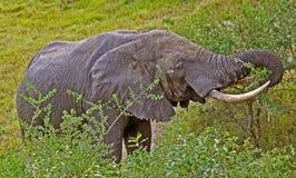 1 слон Стоковое Изображение