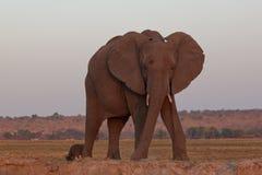 Слон Bull Ботсвана стоковое фото rf