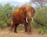 Слон Bull Стоковые Изображения
