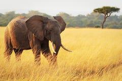 Слон Mara Masai Стоковые Изображения RF