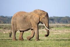 Слон Matriach африканский с бивнями Стоковое Изображение RF