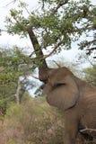 Слон Streching Стоковые Фотографии RF