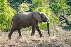 Слон Wlid африканский Стоковое Изображение RF