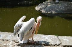 С открытым пеликаном клюва Стоковое Изображение