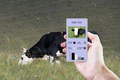 С помощью современным технологиям в земледелии определить насколько времени корова съела, положенный, идти и состоенный стоковая фотография rf