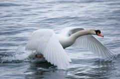 с принимать лебедя Стоковое Изображение RF