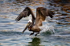 с принимать пеликана Стоковая Фотография