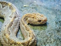 С ромбовидным рисунком на спине rattlesnake на зоопарке Стоковое Изображение RF