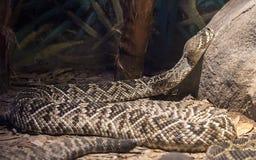 С ромбовидным рисунком на спине Rattlesnake Стоковая Фотография