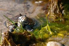 С ромбовидным рисунком на спине водяная черепаха Стоковая Фотография