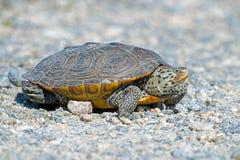 С ромбовидным рисунком на спине водяная черепаха Стоковые Фотографии RF