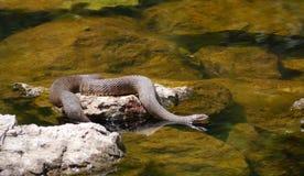 С ромбовидным рисунком на спине змейка воды - rhombifer Nerodia Стоковое фото RF