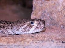 С ромбовидным рисунком на спине Rattlesnake Стоковые Фотографии RF